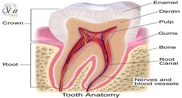 فیزیولوژی دندان